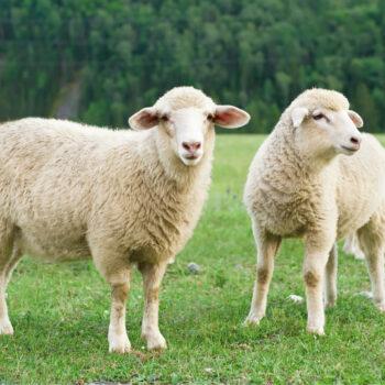Halal Lamb Cuts